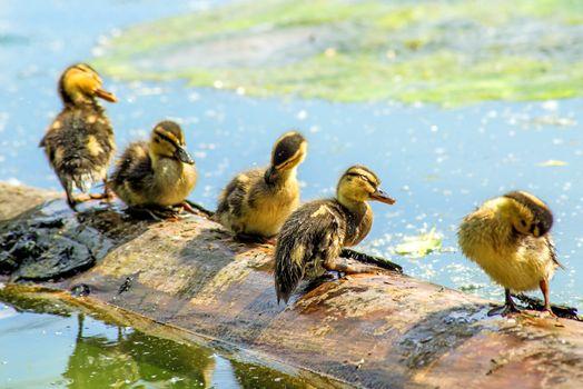 offspring of an mallard duck