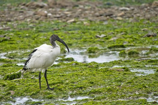 African Sacred Ibis, Walker Bay Nature Reserve, South Africa