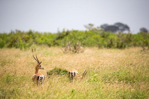 A Grant gazelle walks between tall grass