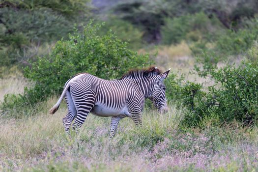 A Greavy zebra walk between the bushes
