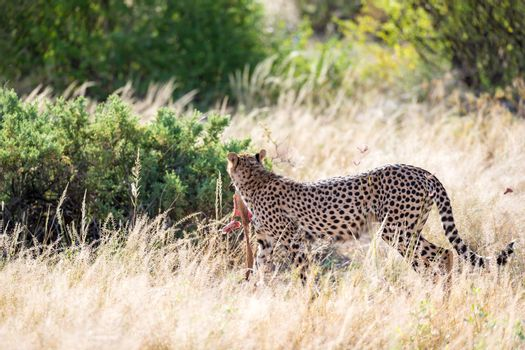 A cheetah in the grass landscape between the bushes