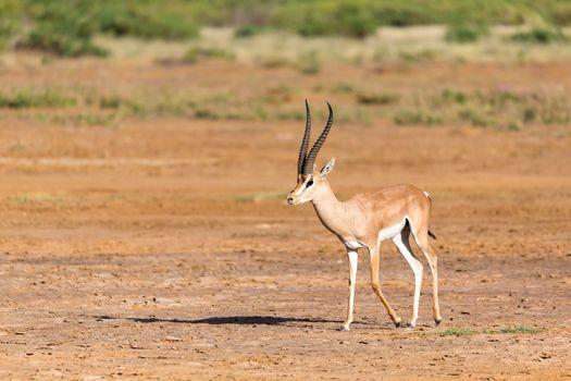Grant Gazelle in the savannah of Kenya