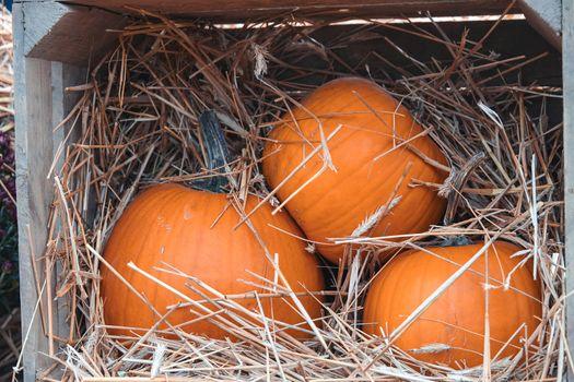big autumn orange pumpkins in an outdoor garden