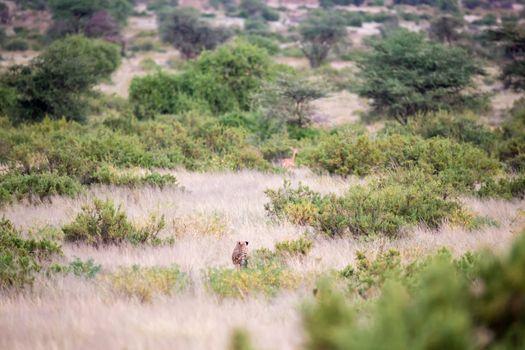 A cheetah runs through the savannah to hunt