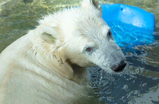 Polar Bear playing