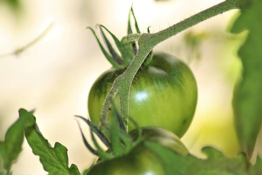 Green tomato on the bush as a close up