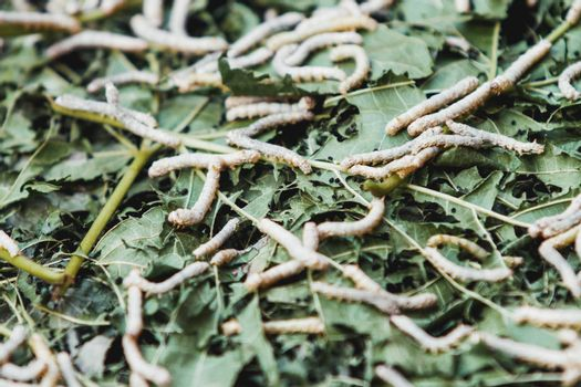 Silkworm caterpillars eat green leaves. Close-up of insects suitable for fabric production.
