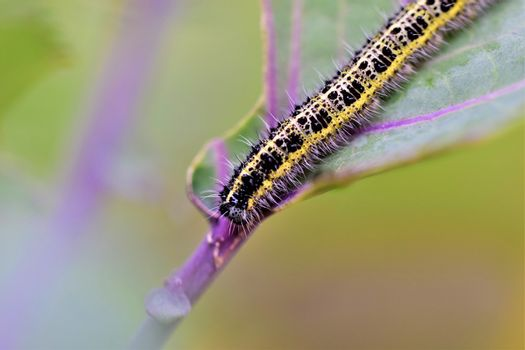 Close-up of one yellow and black cabbage caterpillars on an eaten cabbage leaf
