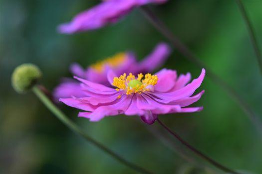Closeup of an autumn anemone flower