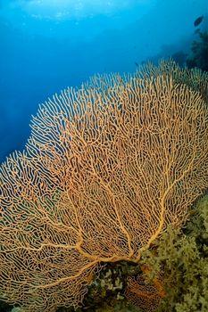 Giant Gorgonian, Red Sea, Egypt