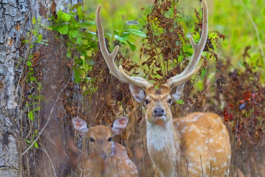 Spotted Deer, Royal Bardia National Park, Nepal, Asia