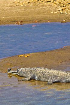 Gharial, Gavial, Royal Bardia National Park, Bardiya National Park, Nepal