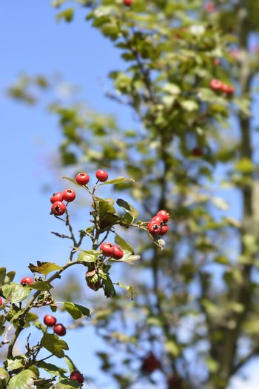 Hawthorn Pauls Scarlet