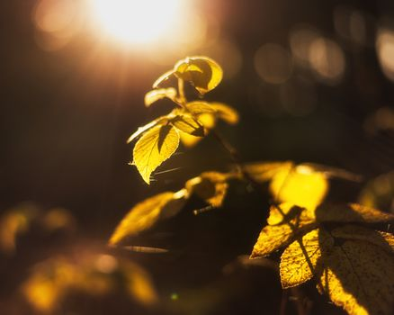 Yellow leaves in the sunset light