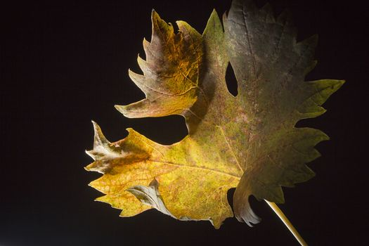Yellowed wilted grape leaves on black background