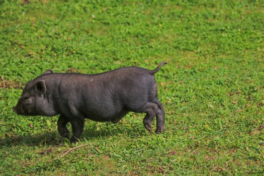 Small undersized black pig on a green lawn. Selective focus