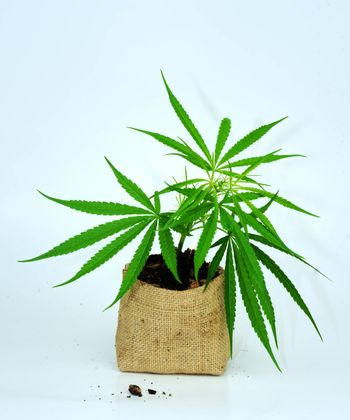 The growing cannabis plant is cultivated in a special type of soil bag separating the white background.