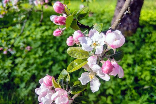 View of the blooming apple tree in the spring in the garden