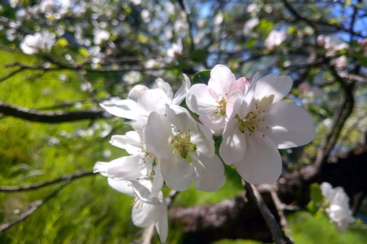 An apple tree branch blooms in spring in the garden on a clear day