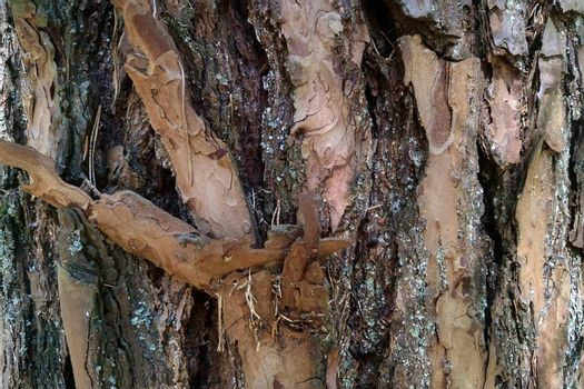 View of a pine tree trunk. Background