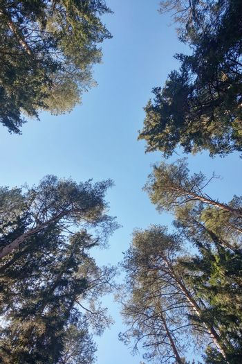 The tops of tall trees against the blue sky