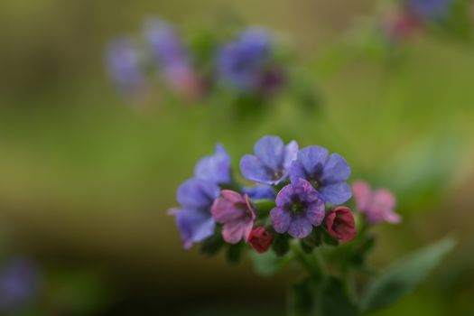 colorful flowers of lungwort in spring