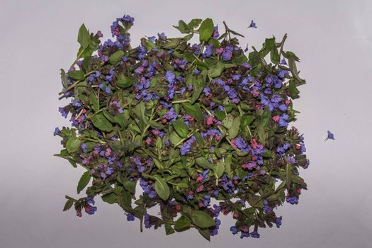 Fresh lungwort collected on gray background