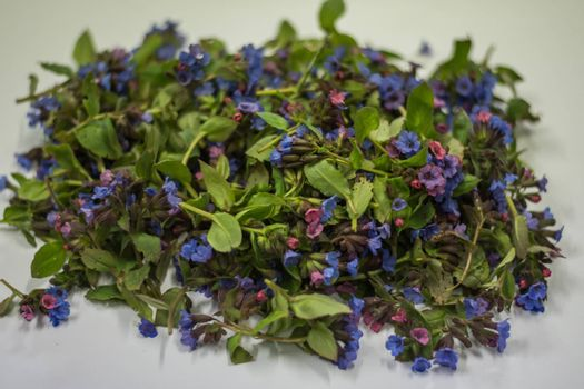 Fresh lungwort spring collection with white background