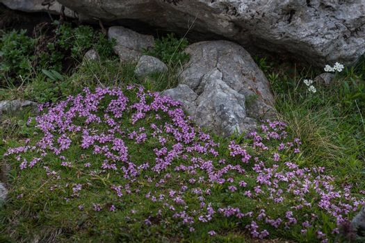 small purple flowers in the mountains while hiking