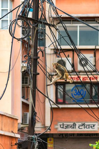 Jaipur, Rajasthan / India - September 29, 2019: Monkey climbing on a telephone pole wires in Jaipur, India