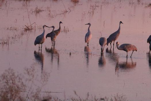 Annual migration of cranes in woodbridge california