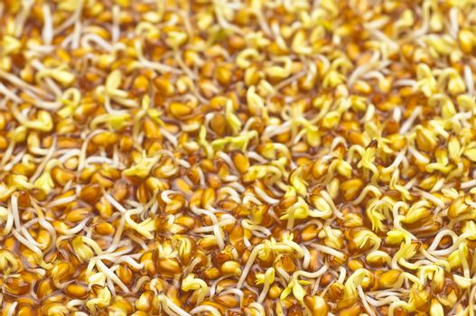 germination of cress