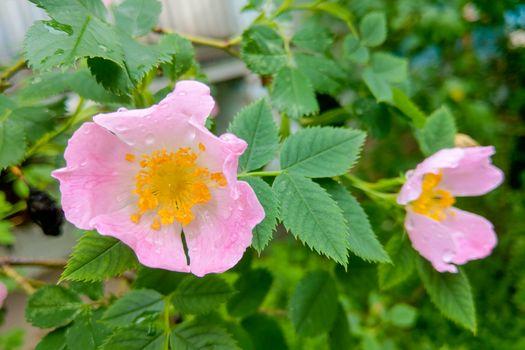 Beautiful garden roses after rain. Nature background