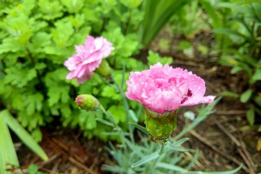 Light carnation in the garden after the rain