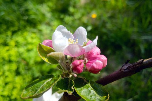 Close-up of a blossoming branch of an apple tree in the garden