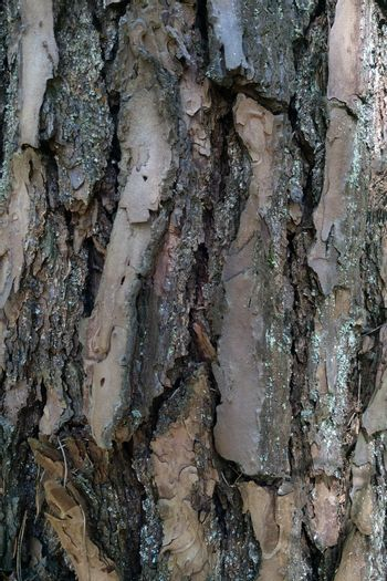 Pine tree trunk. Close-up of the bark. Background