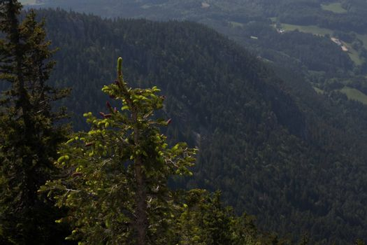 glowing conifer and view of a mountain while hiking