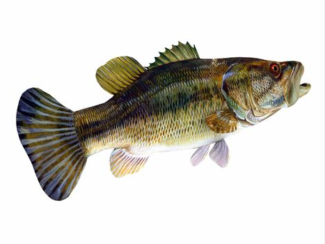 The Redeye is species of freshwater bass fish found in lakes, rivers and streams of Georgia and Alabama, USA.