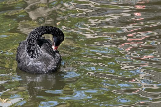 One black swan with red beak, swim in a pond. The swan itches with its beak in its feathers. Reflections in the water.
