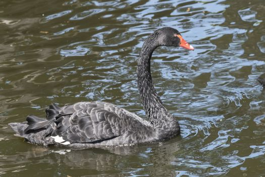 One black swan with red beak, swim in a pond. Reflections in the water. The sun shines on the feathers.