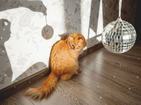 Cute ginger cat looks curiously on sun reflections from sparkling mirror disco ball. Fluffy pet and sunny morning in cosy home. Light and shadow.