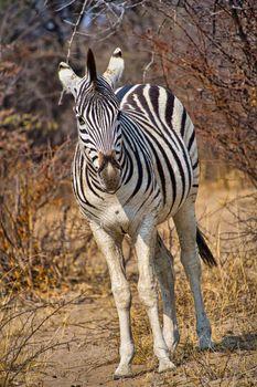 Plains Zebra, Botswana, Africa