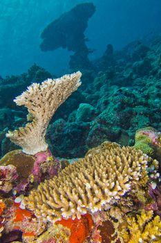 Coral Reef Seascape, Reef Building Coral, Maldives