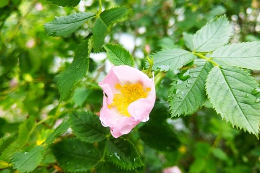 View of a rose in the garden after the rain