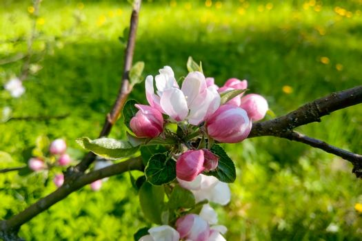 A branch of an apple tree blooms in the garden on a sunny day