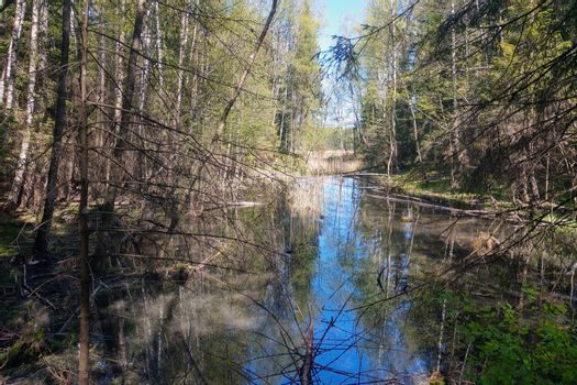 Wetland in an old forest. Fallen trees in the water