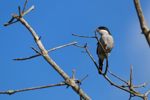 Fiscal Shrike Bird On Tree Branch (Lanius collaris)
