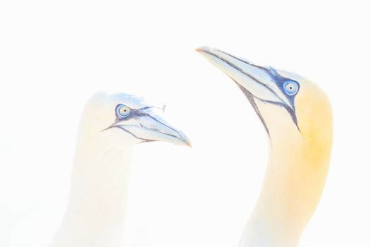 Portrait of pair of Northern Gannet, Sula bassana, Two birds love in soft light, animal love behaviour.