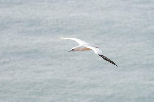 A single white and yellow gannet flies through the sky, blue, gray sea in background.