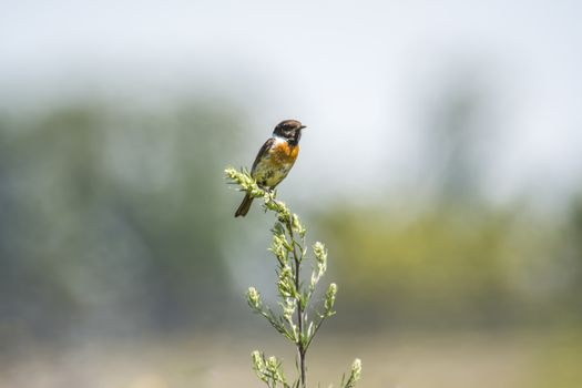 stonechat male on stalk plant in nature conservation area